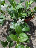 Vinca minor f. alba 1L Pot